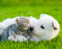White Swiss Shepherd`s puppy playing with tiny kitten on green grass royalty free stock photos