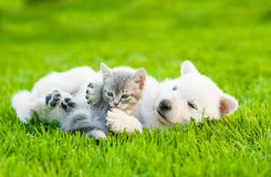 White Swiss Shepherd`s puppy playing with tiny kitten on green grass Royalty Free Stock Photo