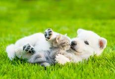 White Swiss Shepherd`s puppy playing with tiny kitten on green grass Stock Photo