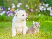 White Swiss Shepherd`s puppy sitting with tiny kitten on green grass.  Stock Photography