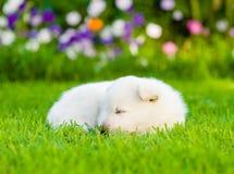 White Swiss Shepherd`s puppy sleep on green grass.  Royalty Free Stock Photography