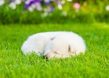 White Swiss Shepherd`s puppy sleep on green grass.  Royalty Free Stock Image