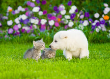 White Swiss Shepherd`s puppy sniffing kittens on green grass Royalty Free Stock Photography