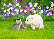 White Swiss Shepherd`s puppy sniffing kittens on green grass Royalty Free Stock Photos