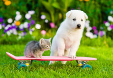 White Swiss Shepherd`s puppy and tabby kitten on skate Royalty Free Stock Photo