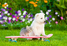 White Swiss Shepherd`s puppy and tabby kitten on skateboard Royalty Free Stock Photography