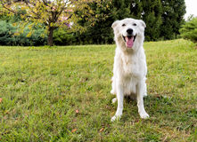 White Swiss Shepherd sitting on the grass Royalty Free Stock Photo