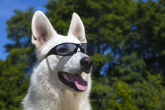 White Swiss Shepherd with sun glasses on her mazzle Royalty Free Stock Photo