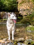 White Swiss Shepherd in the waterfall lake. Royalty Free Stock Photography