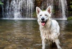 White Swiss Shepherd in the waterfall lake. royalty free stock photo