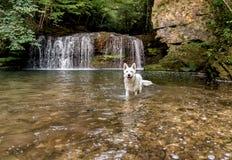 White Swiss Shepherd in the waterfall lake. Stock Image