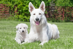 White Swiss Shepherds Stock Image