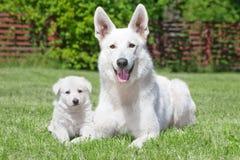 White Swiss Shepherds Stock Image