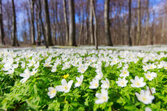 White symphony. Beautiful spring flower landscape,white flowers in the forest Stock Image