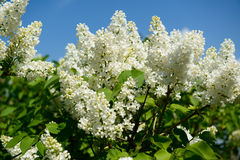 White syrens. Towards a blue clear summer skye royalty free stock photos