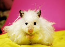 White syrian hamster. Royalty Free Stock Images