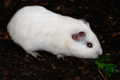 White Syrian hamster, Mesocricetus auratus Royalty Free Stock Photography