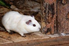 White Syrian hamster, Mesocricetus auratus Royalty Free Stock Image