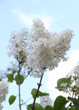 White Syringa Vulgaris blossoming in summer Royalty Free Stock Images