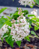 White Syringa vulgaris flowers Royalty Free Stock Image