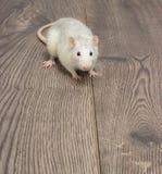 white szczura Obraz Royalty Free