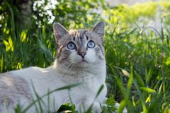 A white tabby cat with blue eyes sitting in a green  grass in the sunny day. Summer landscape. A white tabby cat with blue eyes sitting in a green  grass in the Stock Photography