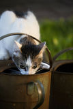 White and tabby cat drinking from an old watering can on a garden in sunset light Stock Photos