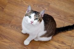 White tabby cat with green eyes is sitting on a floor and looking into the camera. White tabby cat with green eyes is sitting on a floor and looking into the royalty free stock images