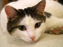 White and Tabby Cat Stock Photography