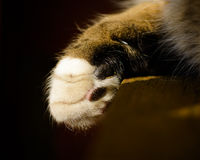 White And Tabby Cat's Paw Drooped Stock Image