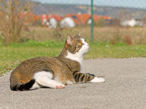White and tabby cat Royalty Free Stock Photography