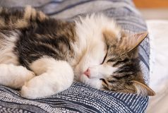 White tabby cat sleeping in bed. Close-up of white tabby cat sleeping in bed Royalty Free Stock Image