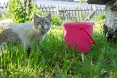 A white tabby cat stands next to a pink bucket in the yard and looks into the lens. Summer landscape. A white tabby cat stands next to a pink bucket in the yard Stock Photo