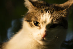 White and tabby cat in sunset sun Royalty Free Stock Photo