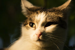 White and tabby cat in sunset sun Stock Photo