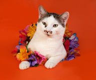 White and tabby cat wrapped Christmas tinsell lying on orange. Background Stock Images