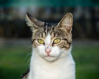 White and tabby cat with yellow eyes outside looking at camera. Close up portrait of head and neck of white and tabby stray cat with golden yellow eyes outside stock photos