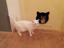 White and tabby cats Royalty Free Stock Photo