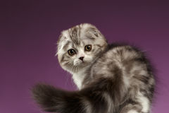 White Tabby Scottish Fold Kitten Playing with Tail on Purple Stock Photo