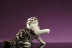 White Tabby Scottish Fold Kitten Sits and Raising up Paw Stock Photography