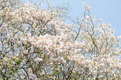 The white Tabebuia Royalty Free Stock Images