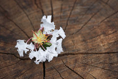 White  Tabebuia rosea blossom on wood background Stock Images