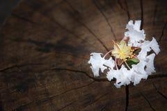 White  Tabebuia rosea blossom on wood background Royalty Free Stock Photo