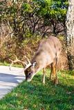 White Tail Buck Stock Photos