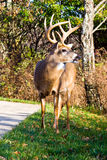 White Tail Buck stock photography