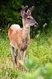 White Tail Buck Deer Stock Photos