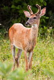 White Tail Buck Deer Stock Images