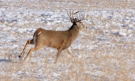 Running white tail deer. This is a white tail buck running in a snowy field stock image