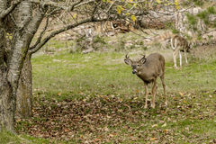 White tail buck by tree. Royalty Free Stock Images