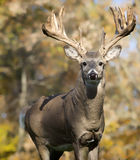 White-tail buck Royalty Free Stock Image